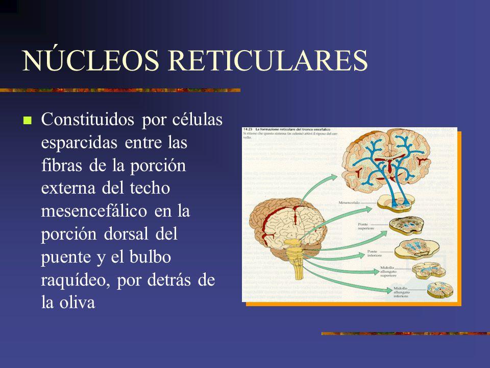 NÚCLEOS RETICULARES Constituidos por células esparcidas entre las fibras de la porción externa del techo mesencefálico en la porción dorsal del puente