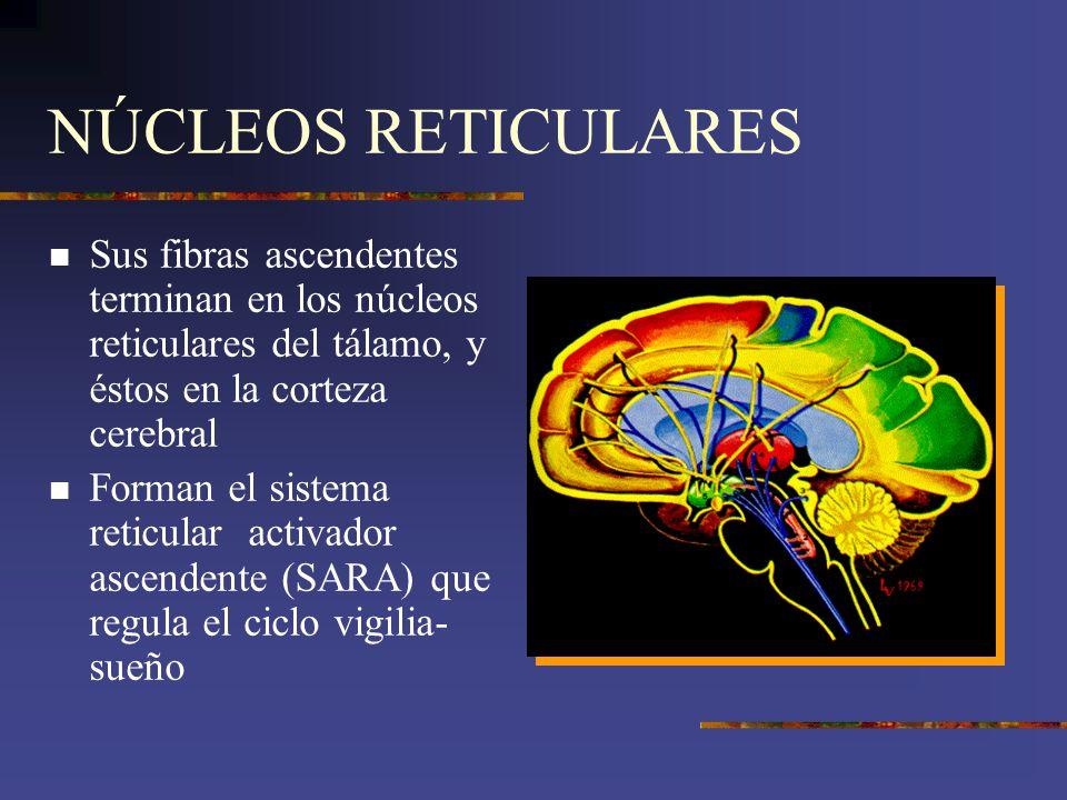 NÚCLEOS RETICULARES Sus fibras ascendentes terminan en los núcleos reticulares del tálamo, y éstos en la corteza cerebral Forman el sistema reticular