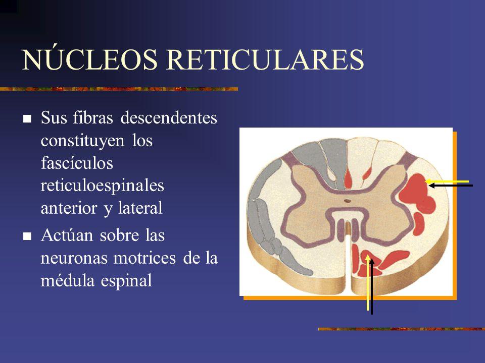 NÚCLEOS RETICULARES Sus fibras descendentes constituyen los fascículos reticuloespinales anterior y lateral Actúan sobre las neuronas motrices de la m