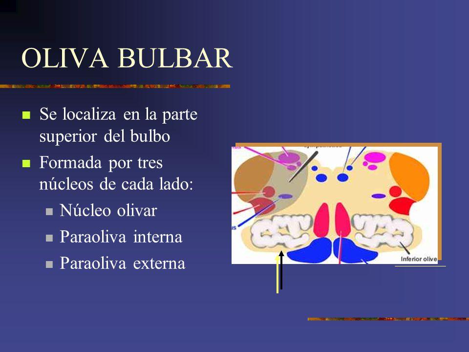 OLIVA BULBAR Se localiza en la parte superior del bulbo Formada por tres núcleos de cada lado: Núcleo olivar Paraoliva interna Paraoliva externa