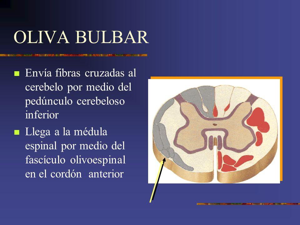 OLIVA BULBAR Envía fibras cruzadas al cerebelo por medio del pedúnculo cerebeloso inferior Llega a la médula espinal por medio del fascículo olivoespi