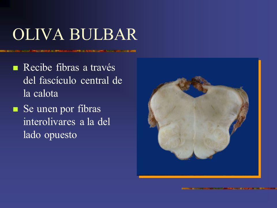 OLIVA BULBAR Recibe fibras a través del fascículo central de la calota Se unen por fibras interolivares a la del lado opuesto