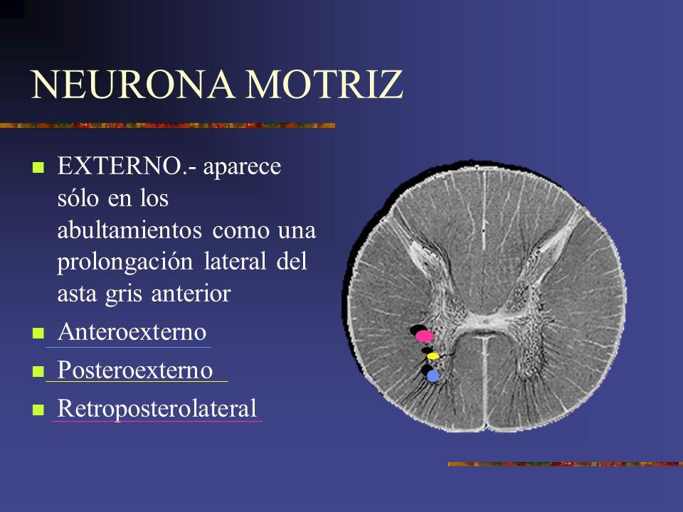 NEURONA MOTRIZ EXTERNO.- aparece sólo en los abultamientos como una prolongación lateral del asta gris anterior Anteroexterno Posteroexterno Retropost