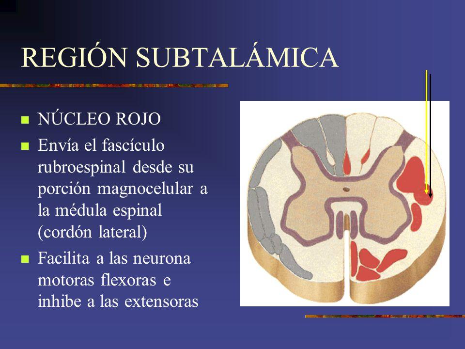 REGIÓN SUBTALÁMICA NÚCLEO ROJO Envía el fascículo rubroespinal desde su porción magnocelular a la médula espinal (cordón lateral) Facilita a las neuro