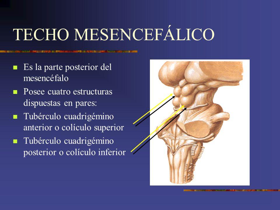 TECHO MESENCEFÁLICO Es la parte posterior del mesencéfalo Posee cuatro estructuras dispuestas en pares: Tubérculo cuadrigémino anterior o colículo sup