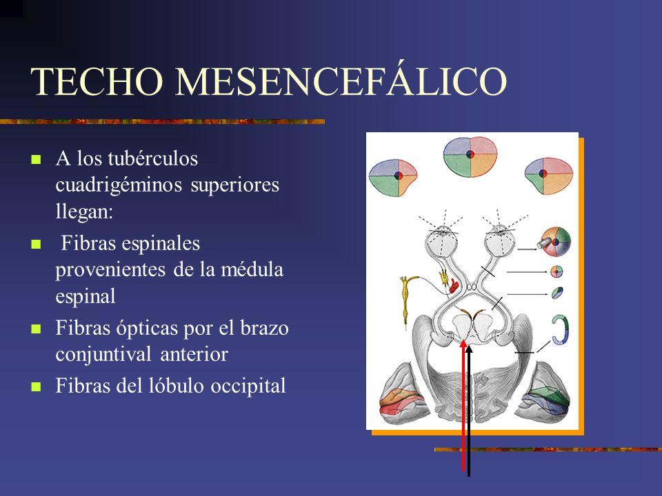 TECHO MESENCEFÁLICO A los tubérculos cuadrigéminos superiores llegan: Fibras espinales provenientes de la médula espinal Fibras ópticas por el brazo c