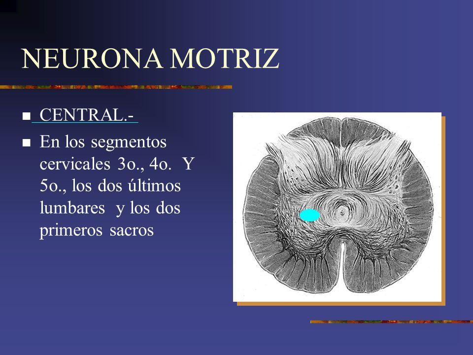 NEURONA MOTRIZ CENTRAL.- En los segmentos cervicales 3o., 4o. Y 5o., los dos últimos lumbares y los dos primeros sacros