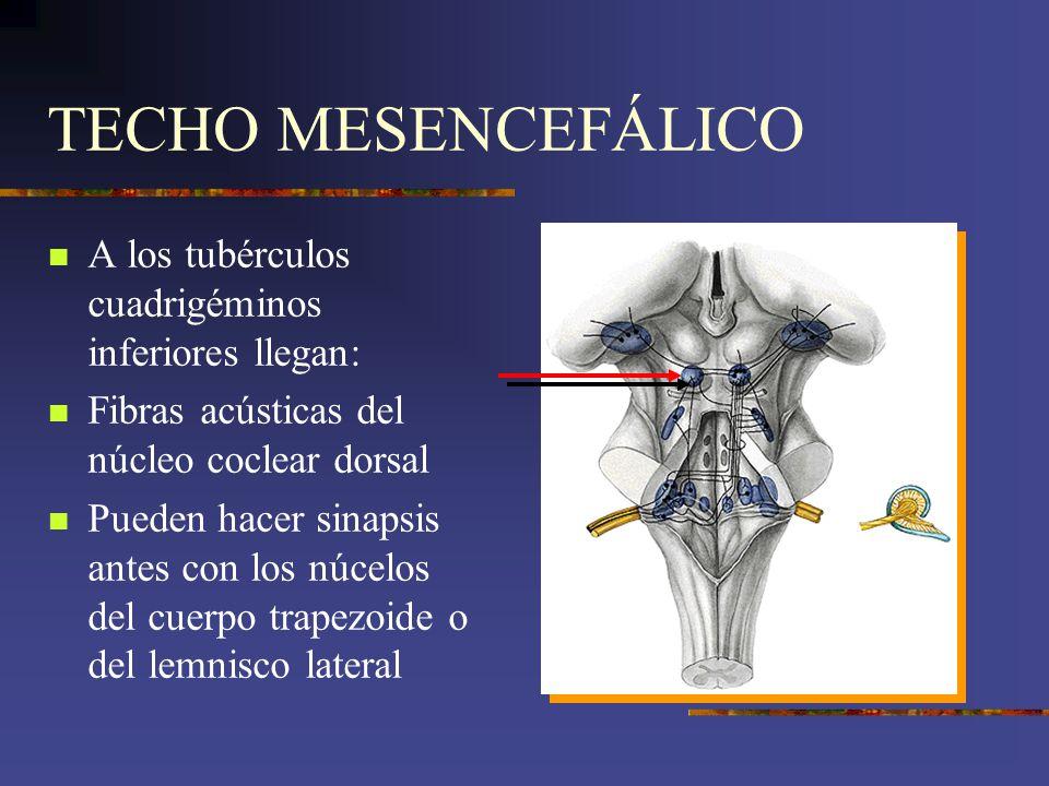 TECHO MESENCEFÁLICO A los tubérculos cuadrigéminos inferiores llegan: Fibras acústicas del núcleo coclear dorsal Pueden hacer sinapsis antes con los n