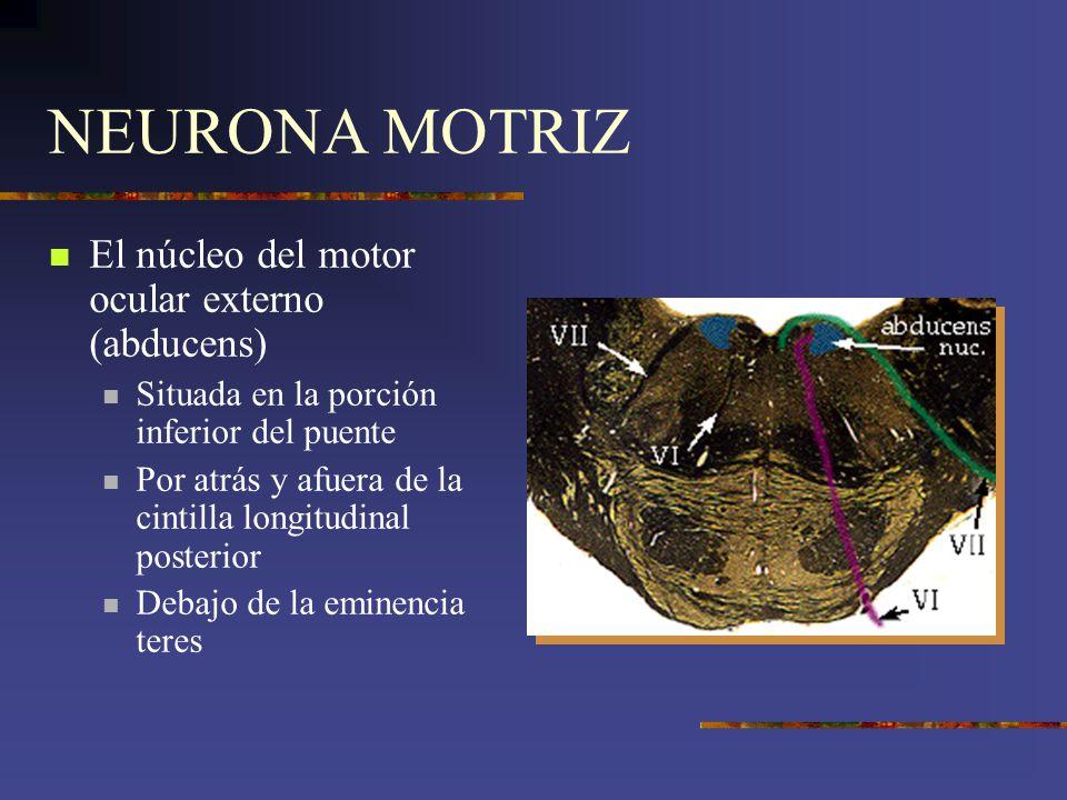 NEURONA MOTRIZ El núcleo del motor ocular externo (abducens) Situada en la porción inferior del puente Por atrás y afuera de la cintilla longitudinal