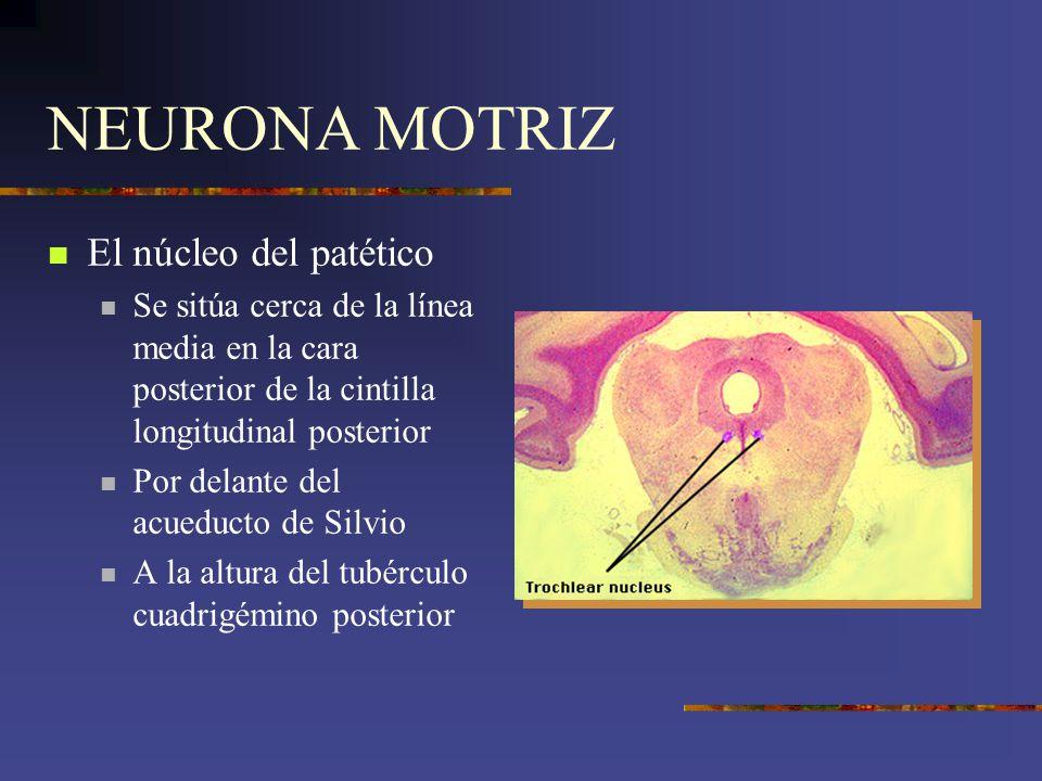 NEURONA MOTRIZ El núcleo del patético Se sitúa cerca de la línea media en la cara posterior de la cintilla longitudinal posterior Por delante del acue