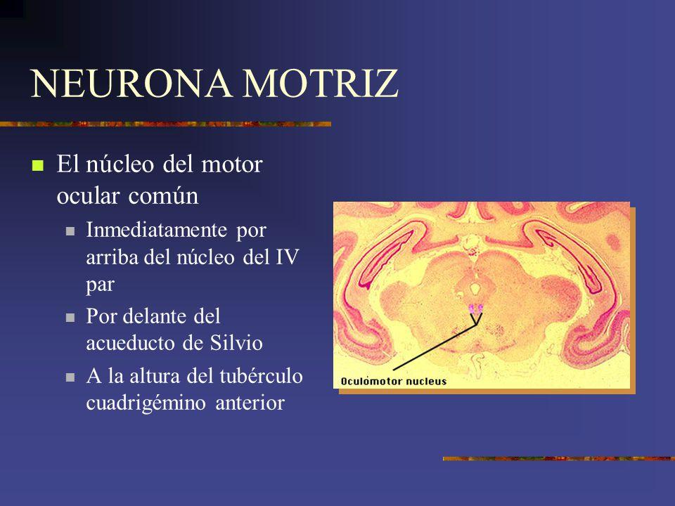 NEURONA MOTRIZ El núcleo del motor ocular común Inmediatamente por arriba del núcleo del IV par Por delante del acueducto de Silvio A la altura del tu