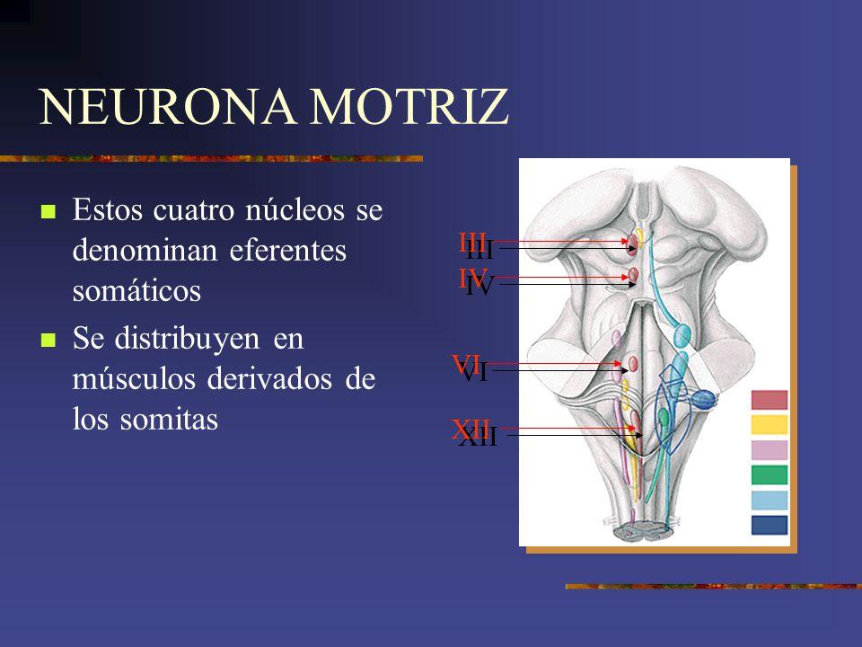 NEURONA MOTRIZ Estos cuatro núcleos se denominan eferentes somáticos Se distribuyen en músculos derivados de los somitas XII III IV VI