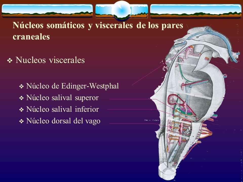 Nucleos viscerales Núcleo de Edinger-Westphal Núcleo salival superor Núcleo salival inferior Núcleo dorsal del vago Núcleos somáticos y viscerales de