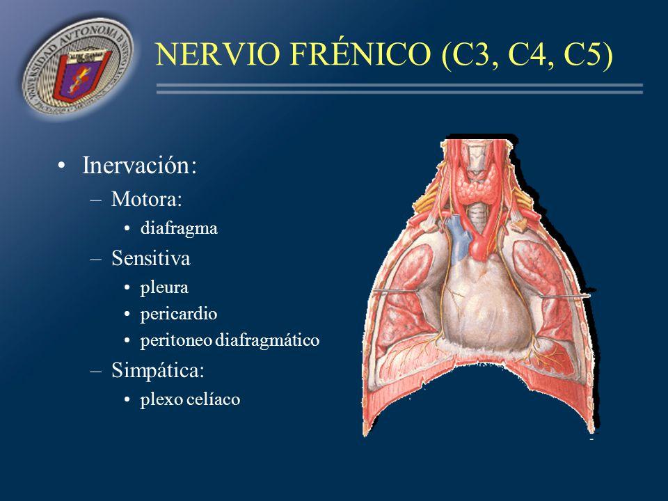 Inervación: –Motora: diafragma –Sensitiva pleura pericardio peritoneo diafragmático –Simpática: plexo celíaco