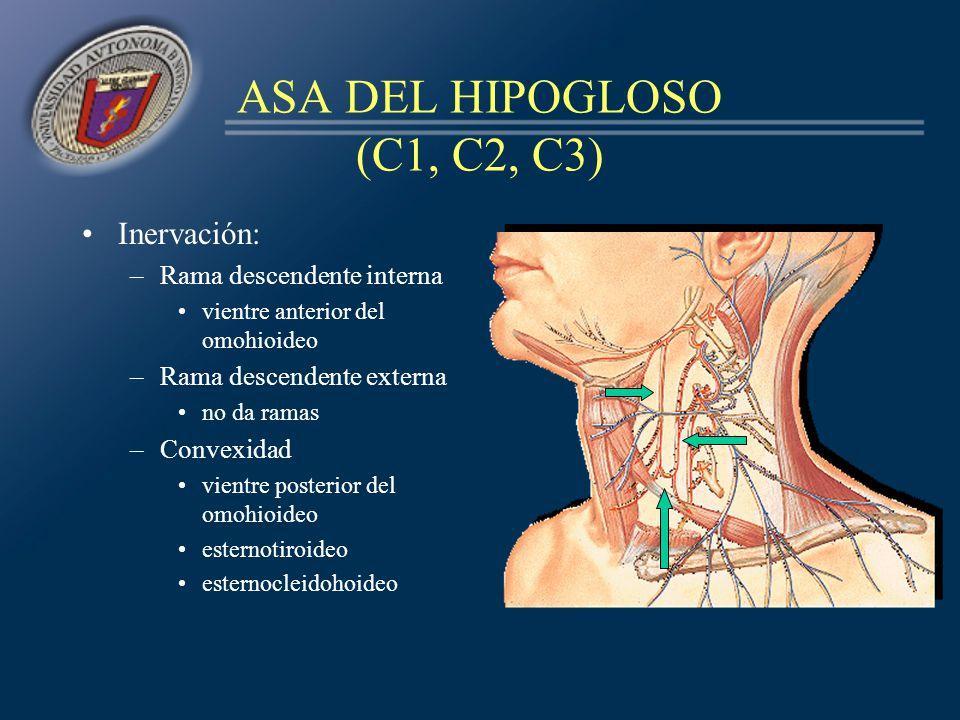 ASA DEL HIPOGLOSO (C1, C2, C3) Inervación: –Rama descendente interna vientre anterior del omohioideo –Rama descendente externa no da ramas –Convexidad