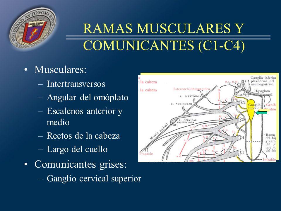 RAMAS MUSCULARES Y COMUNICANTES (C1-C4) Musculares: –Intertransversos –Angular del omóplato –Escalenos anterior y medio –Rectos de la cabeza –Largo de
