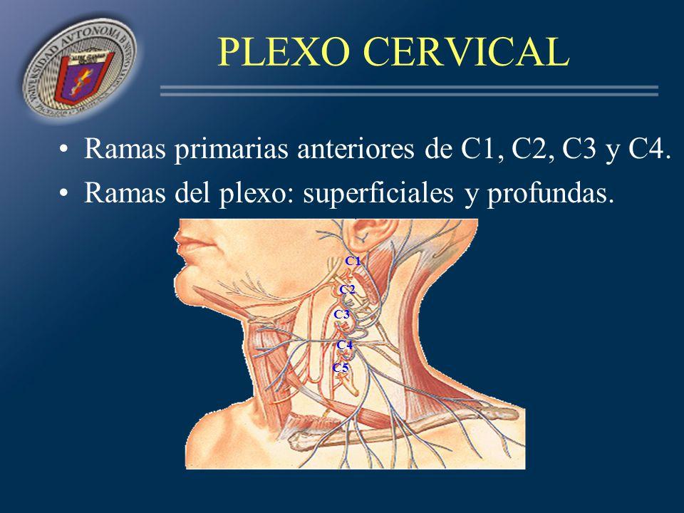 RAMAS SUPERFICIALES C1, C2, C3 forman las ramas –mastoidea –auricular –cervical transversa C3, C4 forman las ramas: –supraclavicular –supraacromial