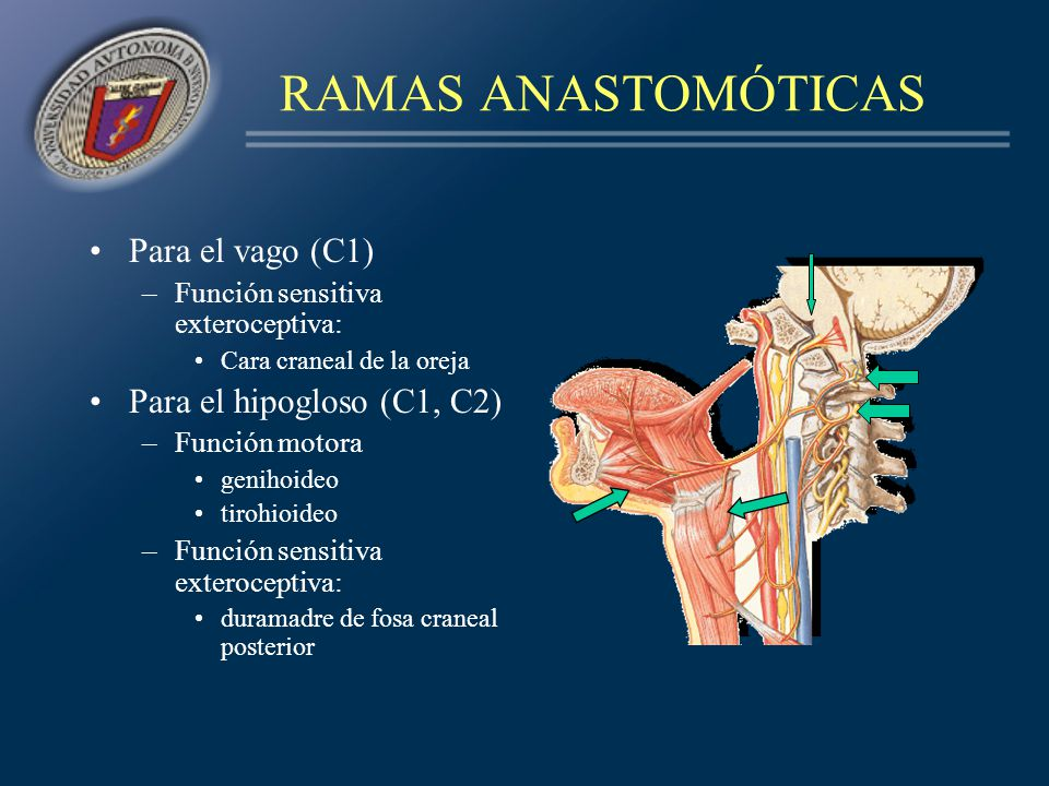 RAMAS ANASTOMÓTICAS Para el vago (C1) –Función sensitiva exteroceptiva: Cara craneal de la oreja Para el hipogloso (C1, C2) –Función motora genihoideo