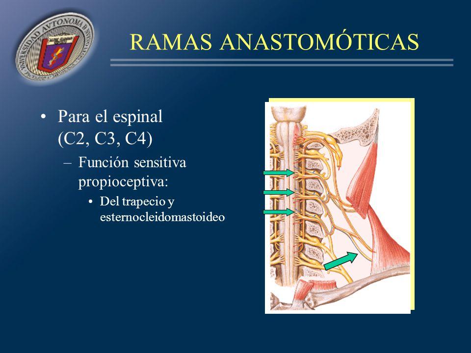 RAMAS ANASTOMÓTICAS Para el espinal (C2, C3, C4) –Función sensitiva propioceptiva: Del trapecio y esternocleidomastoideo