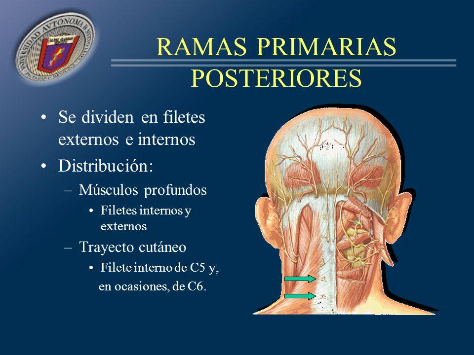 RAMAS PRIMARIAS POSTERIORES Se dividen en filetes externos e internos Distribución: –Músculos profundos Filetes internos y externos –Trayecto cutáneo