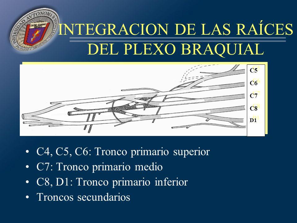 INTEGRACION DE LAS RAÍCES DEL PLEXO BRAQUIAL C4, C5, C6: Tronco primario superior C7: Tronco primario medio C8, D1: Tronco primario inferior Troncos s