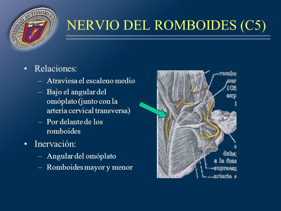 NERVIO DEL ROMBOIDES (C5) Relaciones: –Atraviesa el escaleno medio –Bajo el angular del omóplato (junto con la arteria cervical transversa) –Por delan