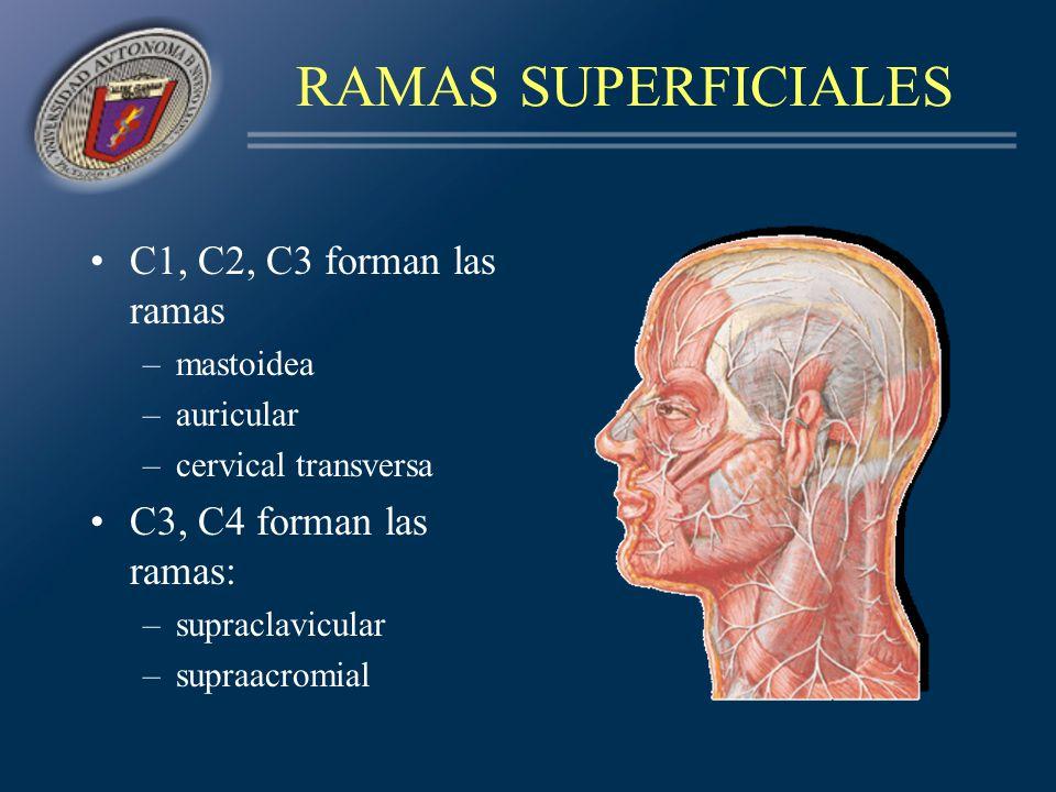 Nervio frénico (C3, C4, C5) Rama descendente externa del asa del hipogloso (C2, C3) Ramas musculares y comunicantes (C1-C4) Ramas anastomóticas para: –el vago (C1) –el hipogloso (C1, C2) –el espinal (C2, C3, C4) RAMAS PROFUNDAS