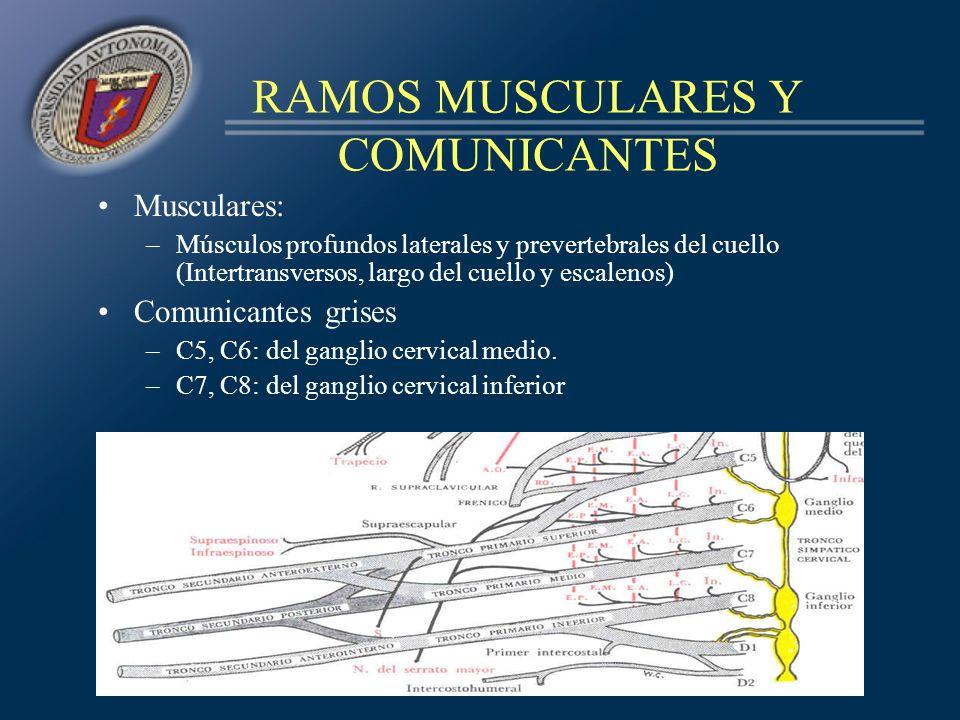RAMOS MUSCULARES Y COMUNICANTES Musculares: –Músculos profundos laterales y prevertebrales del cuello (Intertransversos, largo del cuello y escalenos)