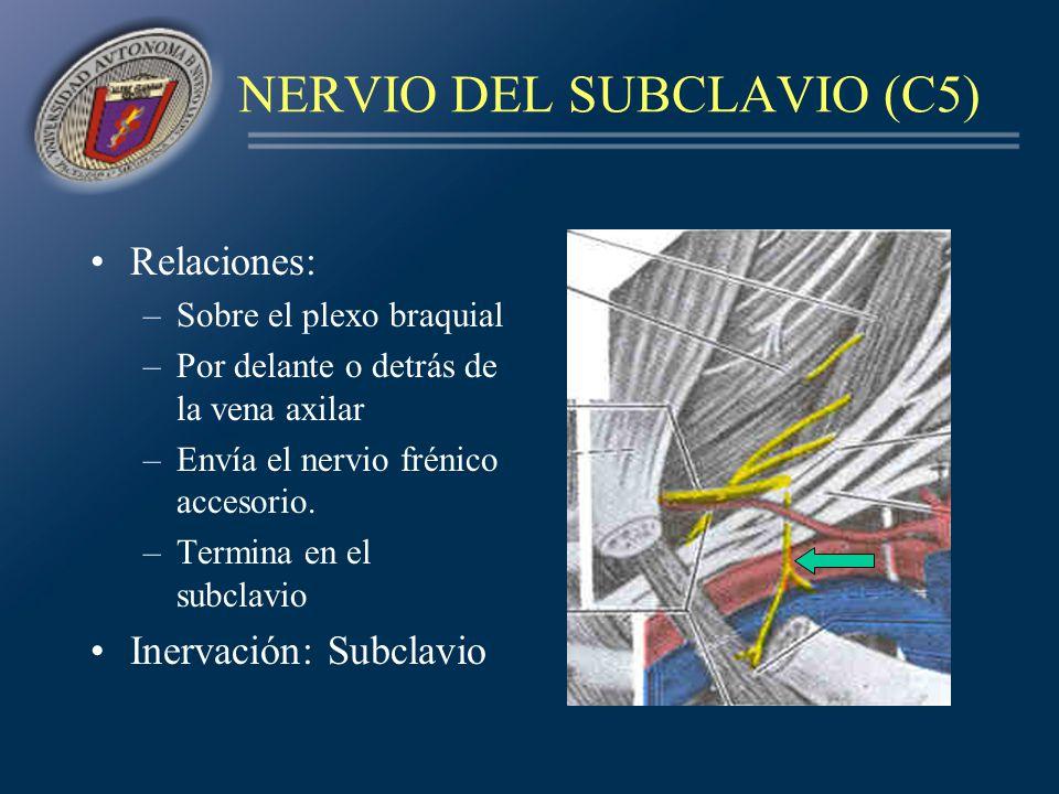 NERVIO DEL SUBCLAVIO (C5) Relaciones: –Sobre el plexo braquial –Por delante o detrás de la vena axilar –Envía el nervio frénico accesorio. –Termina en
