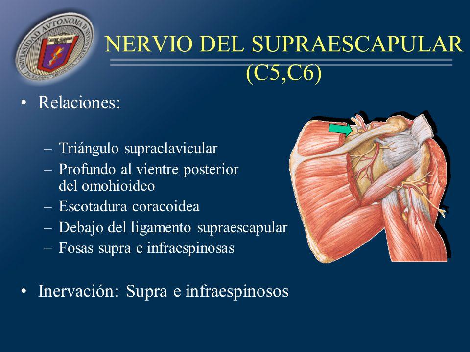 NERVIO DEL SUPRAESCAPULAR (C5,C6) Relaciones: –Triángulo supraclavicular –Profundo al vientre posterior del omohioideo –Escotadura coracoidea –Debajo