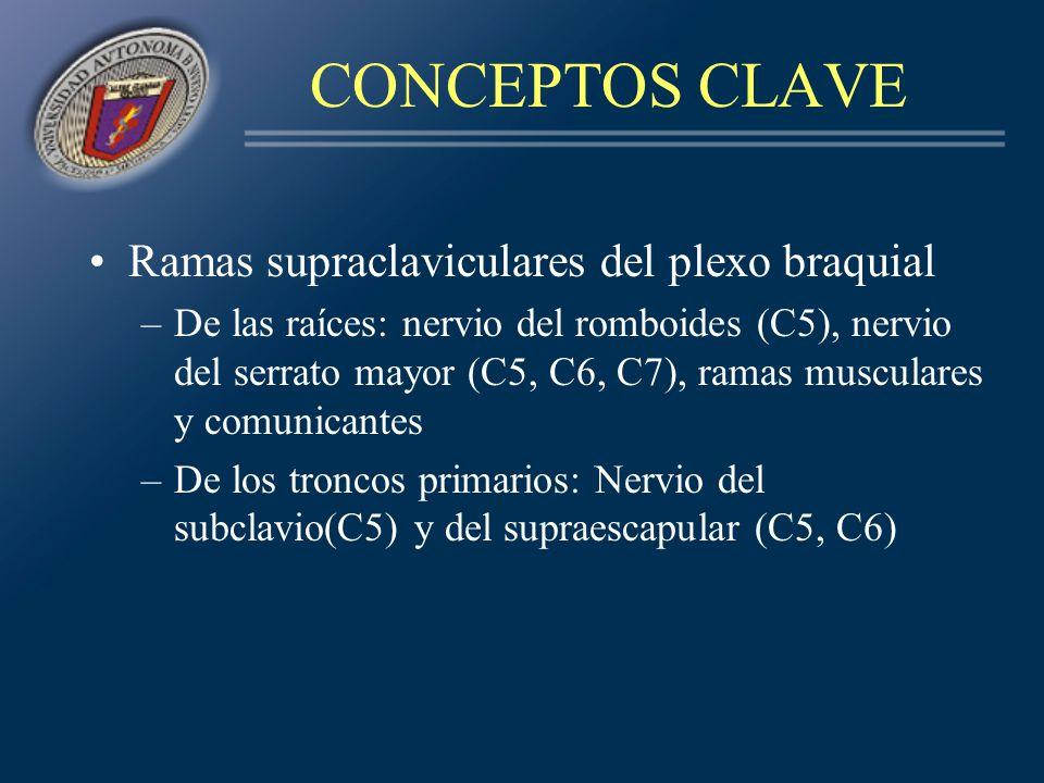 CONCEPTOS CLAVE Ramas supraclaviculares del plexo braquial –De las raíces: nervio del romboides (C5), nervio del serrato mayor (C5, C6, C7), ramas mus