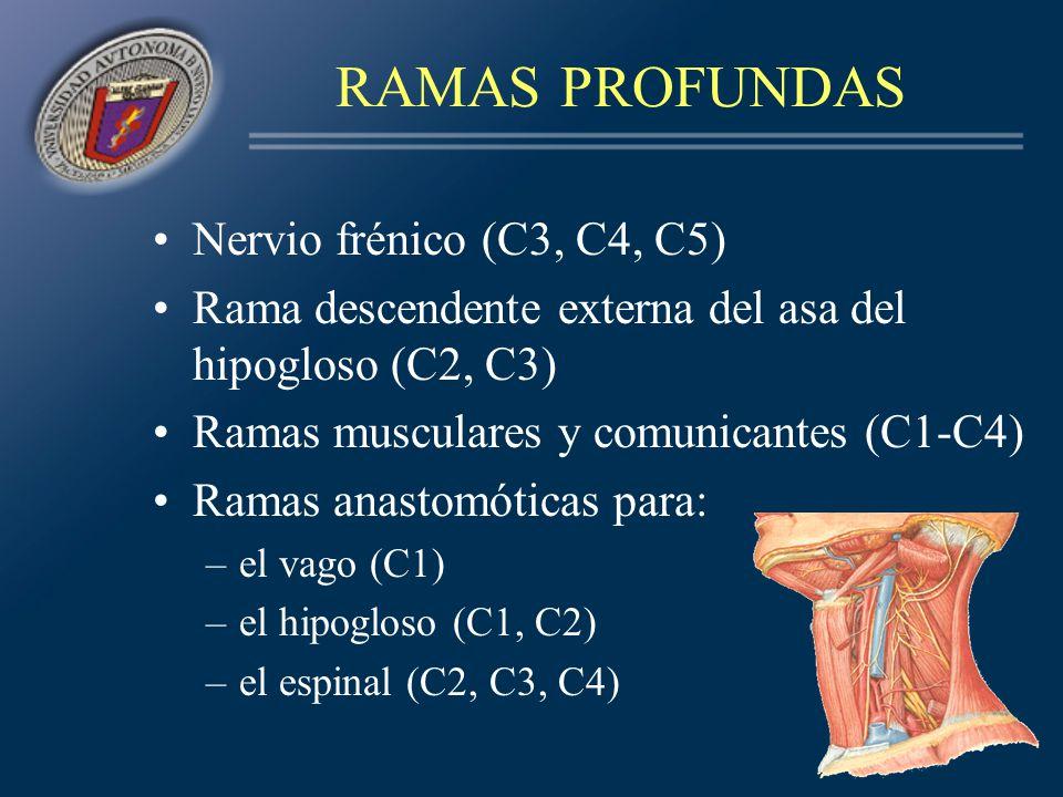 CONCEPTOS CLAVE Ramas supraclaviculares del plexo braquial –De las raíces: nervio del romboides (C5), nervio del serrato mayor (C5, C6, C7), ramas musculares y comunicantes –De los troncos primarios: Nervio del subclavio(C5) y del supraescapular (C5, C6)