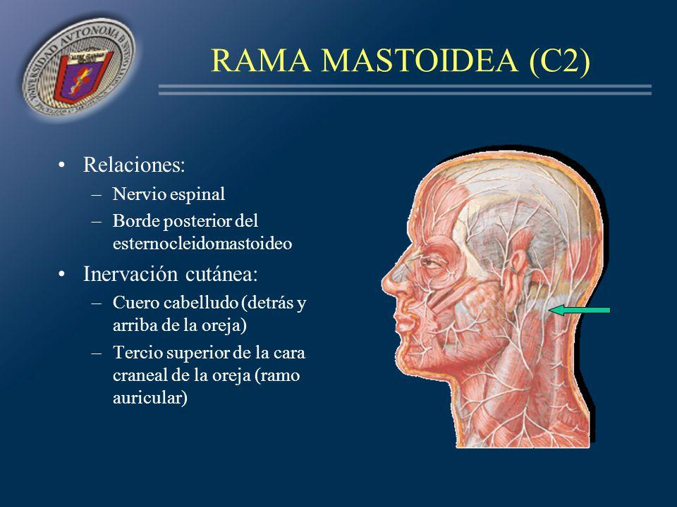 RAMA AURICULAR (C2, C3) Relaciones: Es la más voluminosa –Esternocleidomastoideo –Cutaneo del cuello –Yugular externa (angulo del maxilar inferior) Inervación cutánea: –Ramo anterior: cara craneal de la oreja, cara externa del lóbulo y porción inferior de la concha –Ramo posterior: cuero cabelludo retroauricular –Ramos parotídeos:ángulo del maxilar