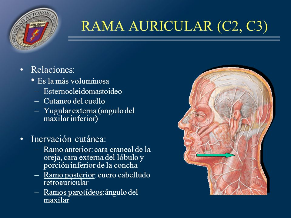 RAMA AURICULAR (C2, C3) Relaciones: Es la más voluminosa –Esternocleidomastoideo –Cutaneo del cuello –Yugular externa (angulo del maxilar inferior) In