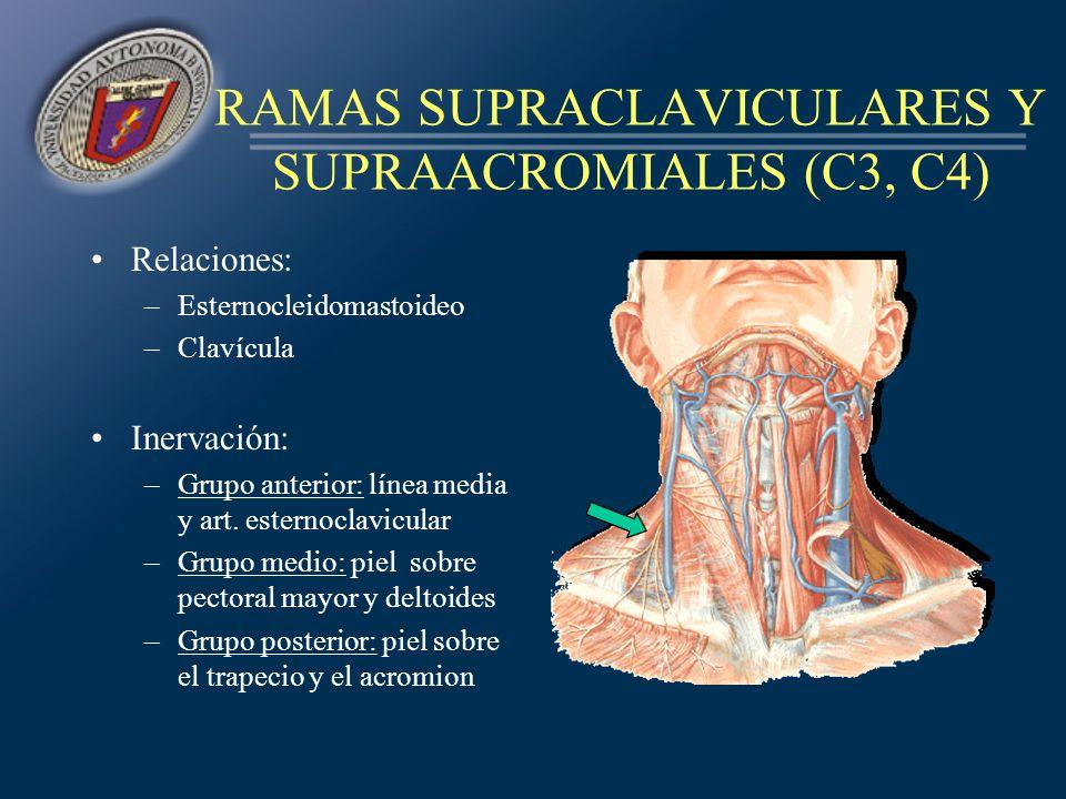 RAMAS SUPRACLAVICULARES Y SUPRAACROMIALES (C3, C4) Relaciones: –Esternocleidomastoideo –Clavícula Inervación: –Grupo anterior: línea media y art. este