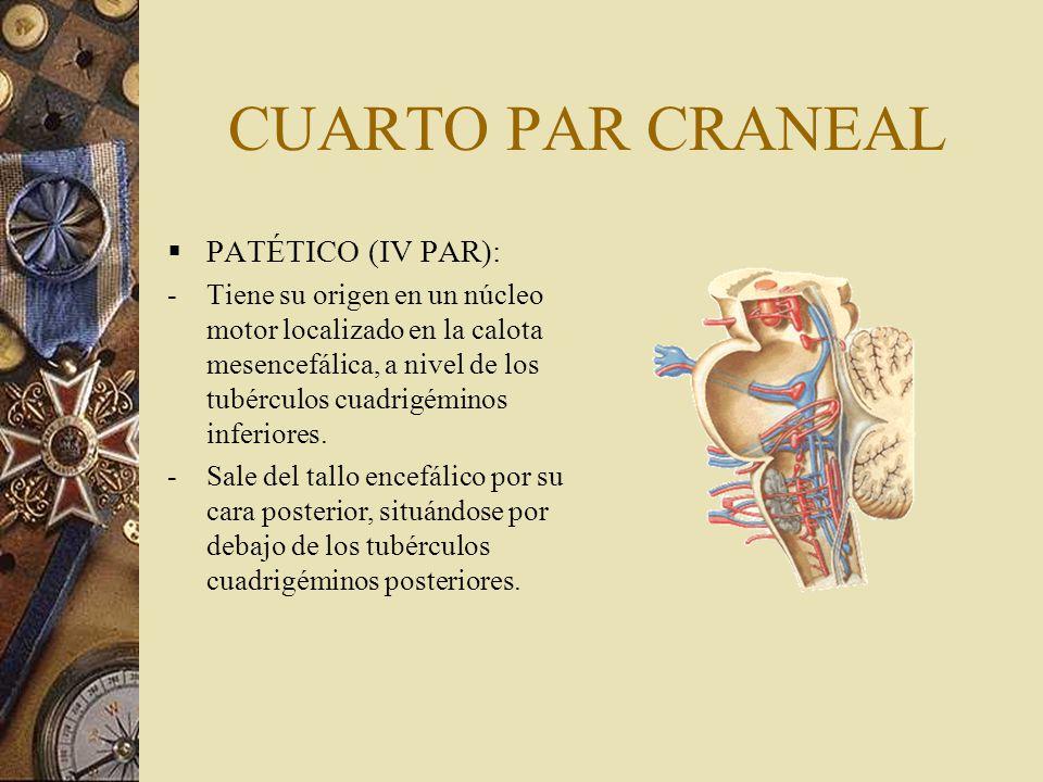 CUARTO PAR CRANEAL PATÉTICO (IV PAR): -Tiene su origen en un núcleo motor localizado en la calota mesencefálica, a nivel de los tubérculos cuadrigémin