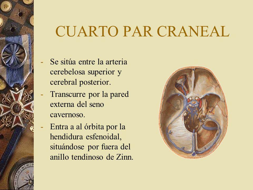 CUARTO PAR CRANEAL -Se sitúa entre la arteria cerebelosa superior y cerebral posterior. -Transcurre por la pared externa del seno cavernoso. -Entra a