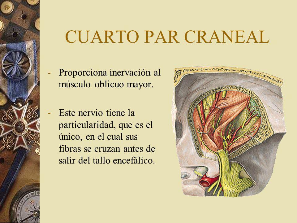 CUARTO PAR CRANEAL -Proporciona inervación al músculo oblicuo mayor. -Este nervio tiene la particularidad, que es el único, en el cual sus fibras se c