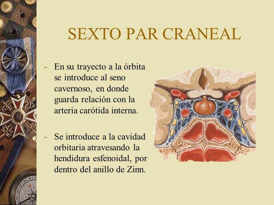 SEXTO PAR CRANEAL -En su trayecto a la órbita se introduce al seno cavernoso, en donde guarda relación con la arteria carótida interna. -Se introduce