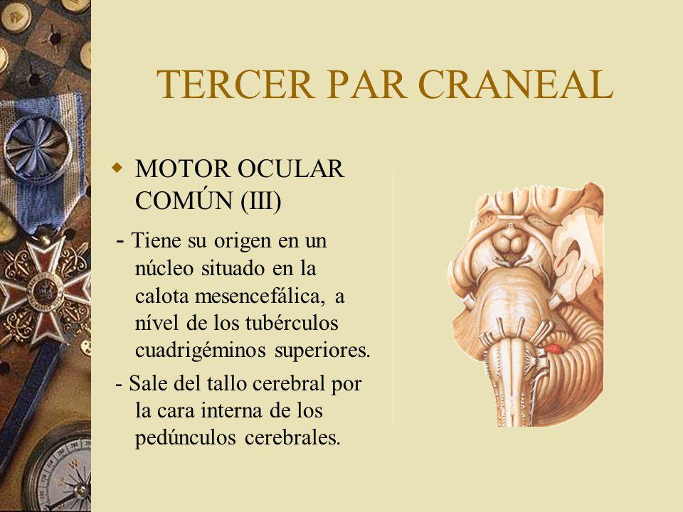 TERCER PAR CRANEAL MOTOR OCULAR COMÚN (III) - Tiene su origen en un núcleo situado en la calota mesencefálica, a nível de los tubérculos cuadrigéminos