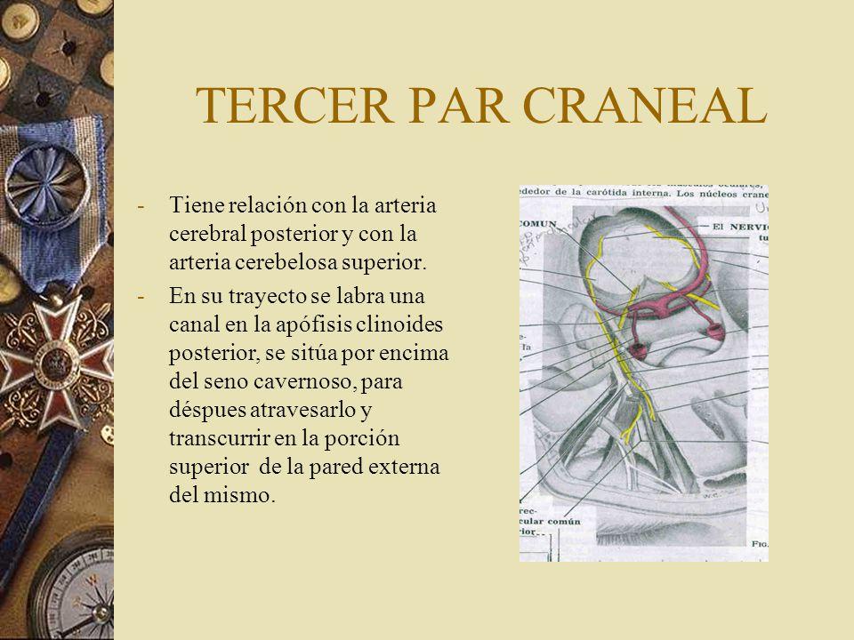 TERCER PAR CRANEAL -Tiene relación con la arteria cerebral posterior y con la arteria cerebelosa superior. -En su trayecto se labra una canal en la ap