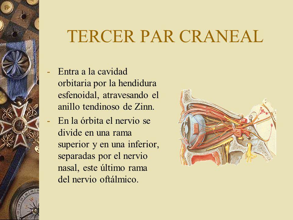 TERCER PAR CRANEAL -Entra a la cavidad orbitaria por la hendidura esfenoidal, atravesando el anillo tendinoso de Zinn. -En la órbita el nervio se divi