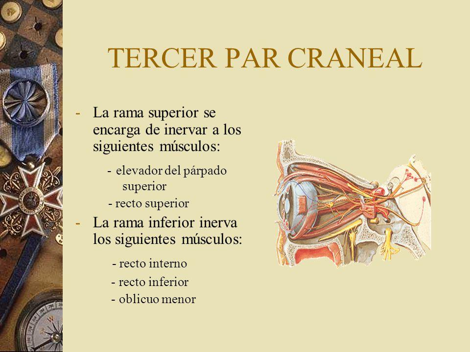 TERCER PAR CRANEAL El nervio del oblicuo menor, emite una raíz al ganglio oftálmico; por medio de esta ráíz transcurre la información parasimpática preganglionar (función vegetativa del III par).