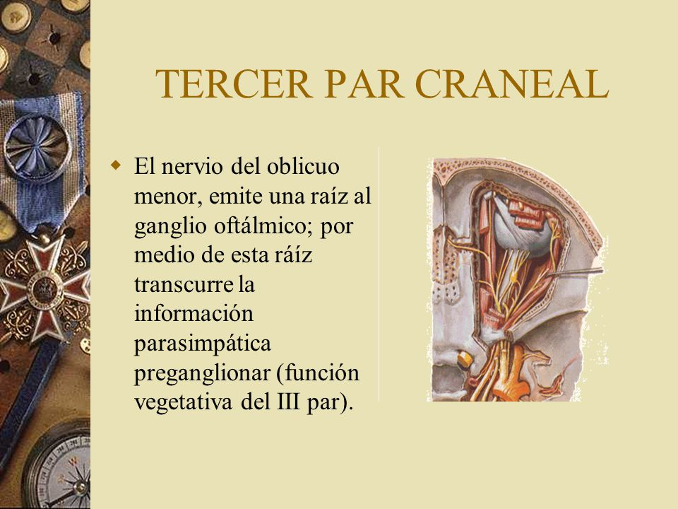 TERCER PAR CRANEAL El nervio del oblicuo menor, emite una raíz al ganglio oftálmico; por medio de esta ráíz transcurre la información parasimpática pr