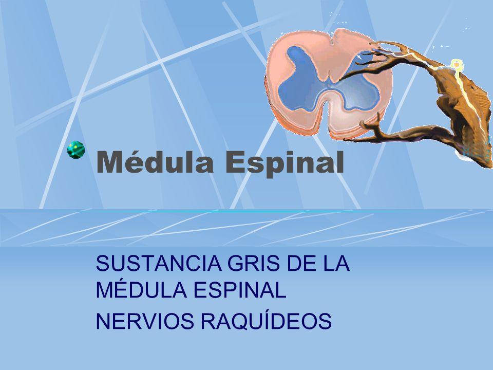 Médula espinal Es la porción del sistema nervioso central situada dentro del conducto vertebral desde el agujero magno del occipital hasta la altura de la segunda vértebra lumbar.