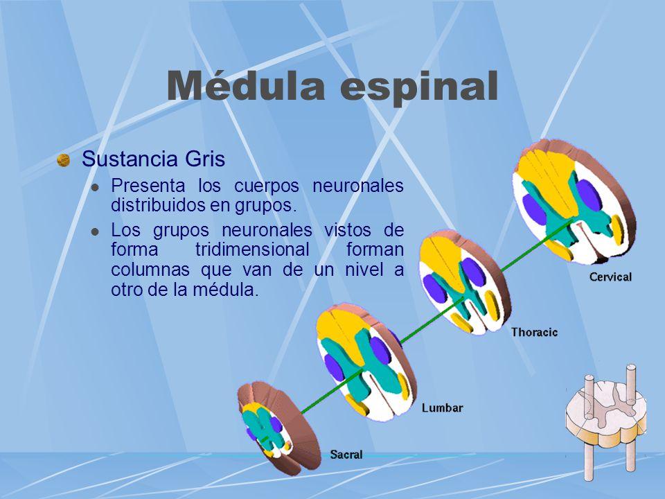 Médula espinal Sustancia Gris Presenta los cuerpos neuronales distribuidos en grupos. Los grupos neuronales vistos de forma tridimensional forman colu