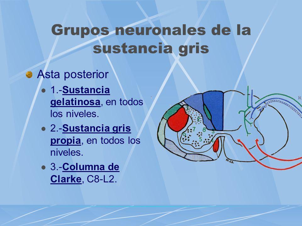 Grupos neuronales de la sustancia gris Asta posterior 1.-Sustancia gelatinosa, en todos los niveles. 2.-Sustancia gris propia, en todos los niveles. 3