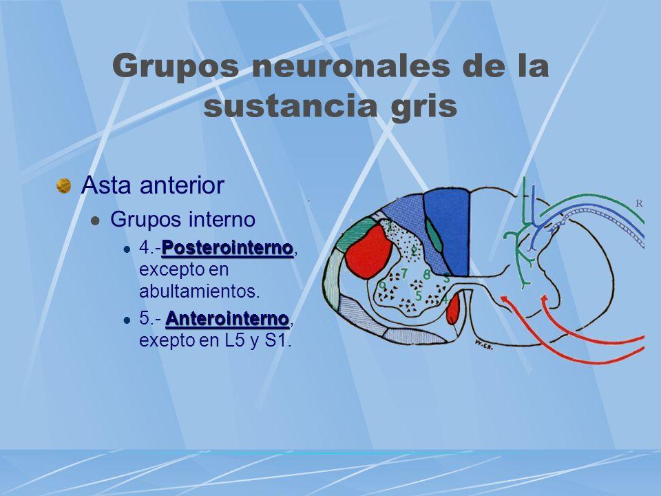 Asta anterior Grupos interno Posterointerno 4.-Posterointerno, excepto en abultamientos. Anterointerno 5.- Anterointerno, exepto en L5 y S1. Grupos ne