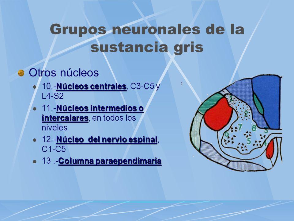 Otros núcleos Núcleos centrales 10.-Núcleos centrales, C3-C5 y L4-S2 Núcleos intermedios o intercalares 11.-Núcleos intermedios o intercalares, en tod