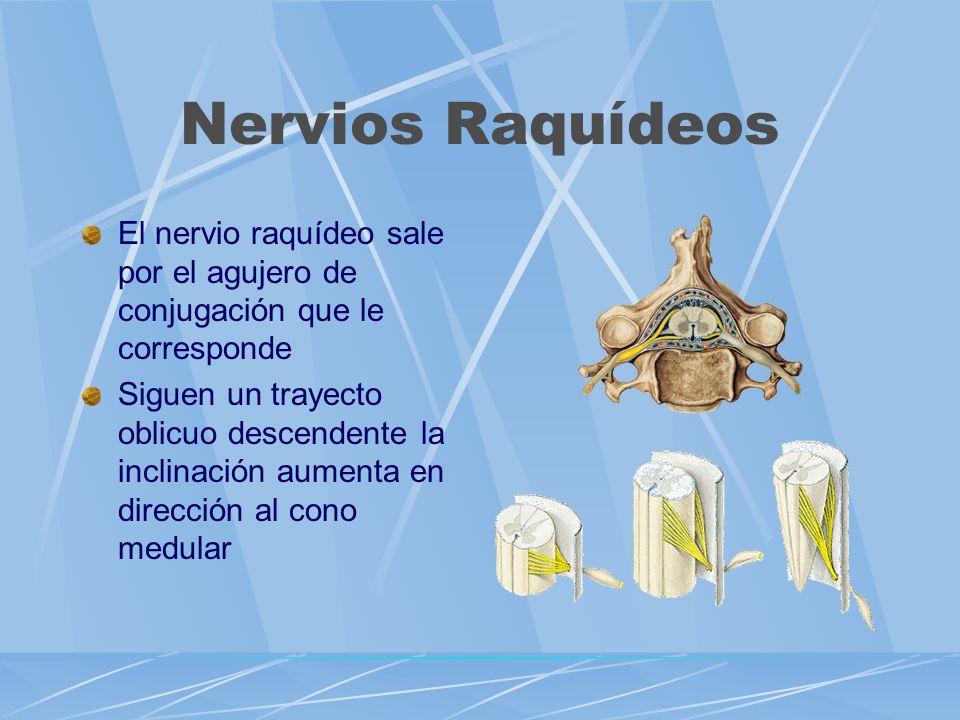 Nervios Raquídeos El nervio raquídeo sale por el agujero de conjugación que le corresponde Siguen un trayecto oblicuo descendente la inclinación aumen